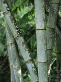 Close up of Stems, Bamboo Forest, Bena Village, Flores Island, Indonesia, Southeast Asia Photographic Print by Alison Wright