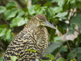 Juvenile Tiger Heron, Tortuguero National Park, Costa Rica, Central America Photographic Print by R H Productions
