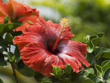 Red Hibiscus Flowers, Costa Rica, Central America Photographic Print by  R H Productions