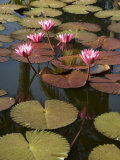 Water Lilies, Goa, India Photographic Print by  R H Productions