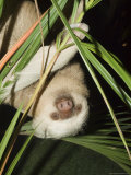 Sloth, Manuel Antonio, Costa Rica, Central America Photographic Print by  R H Productions