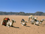 Camels in the Desert, Wadi Rum, Jordan, Middle East Photographic Print by Alison Wright
