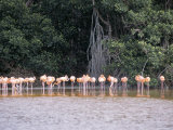 Flamingos, Celestun National Wildlife Refuge, Celestun, Yucatan, Mexico, North America Photographic Print by R H Productions 