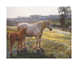 Mare And Foal In A Field Of Buttercups Premium Giclee Print by Sir Alfred Munnings