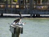 Pelican and Sea Birds on Post, Key West, Florida, USA Photographic Print by  R H Productions