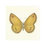 Butterfly V Premium Giclee Print by Sophie Golaz