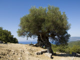 R H Productions - Very Old Olive Tree, Kefalonia (Cephalonia), Ionian Islands, Greece Fotografická reprodukce