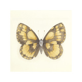 Butterfly VI Premium Giclee Print by Sophie Golaz