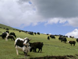 Herd of Yak, Including a White Yak, Lake Son-Kul, Kyrgyzstan, Central Asia Photographie par Upperhall