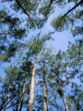 Pines and Sky, Mountain Pine Ridge, Belize, Cental America Photographic Print by  Upperhall
