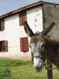 Donkey Near St. Jean Pied De Port, Basque Country, Pyrenees-Atlantiques, Aquitaine, France Stampa fotografica di  R H Productions
