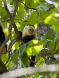 Capuchin or White Faced Monkey, Manuel Antonio Nature Reserve, Manuel Antonio, Costa Rica Photographic Print by  R H Productions