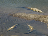 Crocodiles Seen from the Bridge Over the River Tarcoles, Near Puntarenas, Costa Rica Photographic Print by  R H Productions