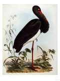 Black Stork, Engraved, from 'Illustrations of British Ornithology' by John Prideaux Selby, 1841 Giclee Print by Henry Thomas Alken