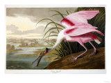 Roseate Spoonbill (Platalea Ajaja) Giclee Print by Henry Thomas Alken
