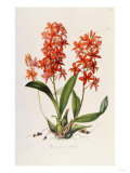 Star Orchid from 'Setrum Orchidaceum' by John Lindley, 1838 Giclee Print by Henry Thomas Alken