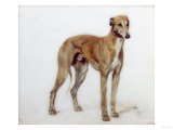A Fawn Greyhound, 1897 Giclee Print by Cecil Aldin