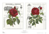 Heirloom Roses Posters by Sarah Elizabeth Chilton