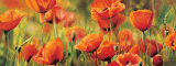Symphonie de Coquelicots Poster von Pierre Viollet