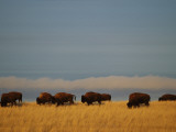 Bison Graze on the Shortgrasses of a Wyoming Prairie Photographic Print by James P. Blair