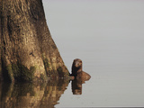 A Mink (Mustela Erminea) Pauses at the Base of a Tree Photographic Print by John Eastcott & Yva Momatiuk