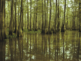 Cypress Trees Reflected in the Green Waters of Bayou Long Photographic Print by John Eastcott & Yva Momatiuk