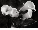 Cala Lilies No. 1 Print by Sondra Wampler