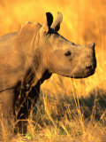 White Rhino Calf in Profile, Matobo National Park, Matabeleland South, Zimbabwe Photographic Print by Christer Fredriksson