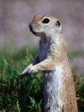 Round-Tailed Ground Squirrel, Sonoran Desert, Arizona Photographic Print by Mark Newman