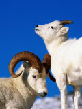 Two Dall Sheep, Denali National Park and Preserve, Alaska Photographic Print by Mark Newman