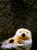 Sea Otter Floating on Its Back, Point Defiance Zoo, Tacoma, Washington Fotografisk tryk af Mark Newman