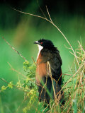 Blue-Headed Coucal, Lake Mburo National Park, Mbarara, Uganda Photographic Print by Ariadne Van Zandbergen