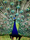 Peacock at Olympic Game Farm, Sequim, Washington Photographic Print by Mark Newman