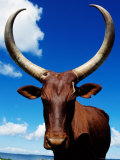 Ankole Cow, Uganda Photographic Print by Ariadne Van Zandbergen