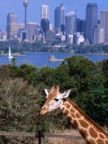 Giraffe at Tooronga Park Zoo with City Skyline Behind, Sydney, New South Wales, Australia Photographic Print by Greg Elms