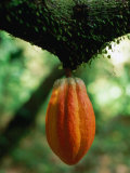 Cocoa Pod Growing on Tree, Grenada Valokuvavedos tekijänä Margie Politzer