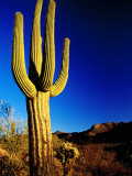 Saguaro at Sunset, Valley View Overlook Trail, Saguaro National Park, Arizona, Photographic Print