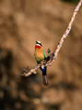 White-Fronted Bee-Eater Perched on Branch, Kafue National Park, North Western Province, Zambia Photographie par Ariadne Van Zandbergen