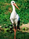White Stork, Uganda Photographic Print by Ariadne Van Zandbergen