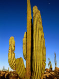 Cardon Cactus, La Paz, Baja California Sur, Mexico Photographic Print by John Elk III