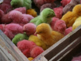 Coloured Chicks for Sale at a Market in the City Centre, Padang, West Sumatra, Indonesia Photographic Print by Paul Kennedy