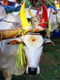Bull Decorated for Pongal Festival, Mahabalipuram, Tamil Nadu, India Fotografisk tryk af Greg Elms