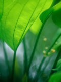 Detail of Tropical Foliage, Thailand Photographic Print by Philip &amp; Karen Smith