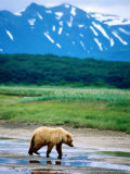 Yearling Brown Bear Cub in Habitat, Hallo Bay, Alaska Photographic Print by Mark Newman