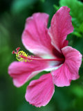 Hibiscus Flower in Morro Negrito, Chiriqui, Panama Fotografisk tryk af Paul Kennedy