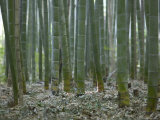 Bamboo Grove on Approach to Okochi Denjiro's Villa, Kyoto, Kinki, Japan Photographic Print by Brent Winebrenner