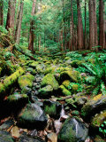 Rainforest in Sol Duc Rain Forest, Olympic National Park, Washington Photographic Print by John Elk III