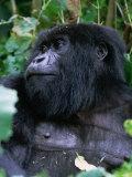 Mountain Gorilla Volcans National Park, Ruhengeri, Rwanda Photographic Print by Doug McKinlay