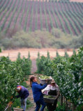 Harvest at Vineyard in Carneros Area, Napa Valley, California Photographie par Roberto Gerometta