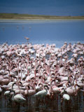 Large Group of Lesser Flamingos on Soda Lake, Ngorongoro Crater, Arusha, Tanzania Photographic Print by Greg Elms